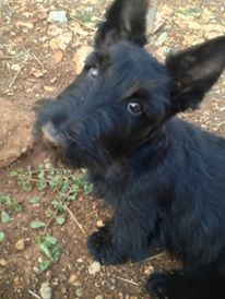 Islay scottish terriers Islay 2