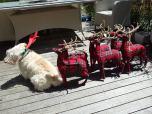 18 hamish the wheaten terrier